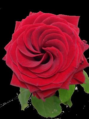 Rose-1-300x300